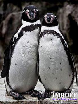 Foto Romantis Sepasang Penguin Berpose Seperti Manusia