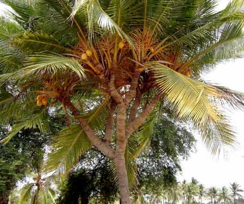 A coconut tree with various branches