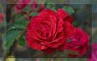 Red Rose Border Wallpaper