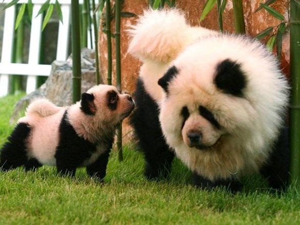 Cães que parecem ursos panda - fotos