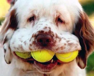 Cão Bolas de Tênis