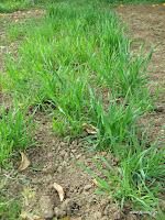 Σπορά και καλλιέργεια σιταριού