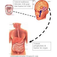 Makanan dikesan oleh otak melalui deria gigi untuk dihantar ke organ pencernaan supaya enzim dapat dirembeskan