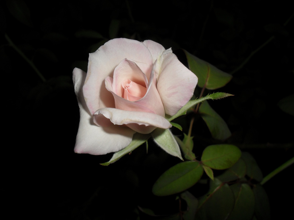 White rose in the night a special flowers white rose in the night izmirmasajfo