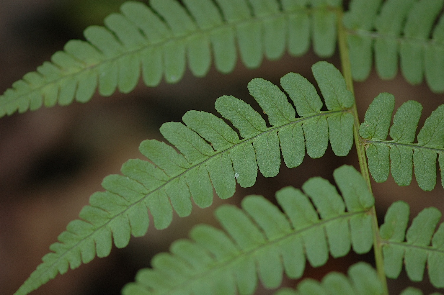 ferns radiate out in many directions with multiple stems known as stipes the stem and leaflets together are known as a frond the leaflets themselves are - Fern Types
