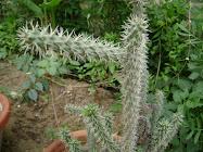 cactus- the survivor among plants, always tenacious, always an inspiration