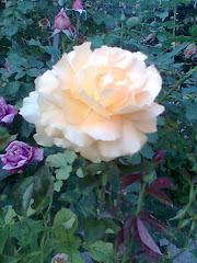 Trandafir .