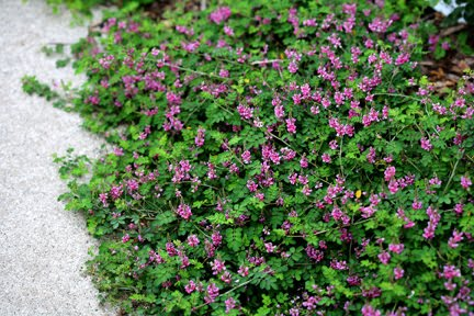 The plant hunter no more weeding or mulching ground covering shrubs indigofera pseudotinctoria rose carpet never fails to lift my spirits when its bright green foliage is adorned with bright pink flowers mightylinksfo