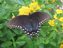 I photographed this butterfly in May, 2009