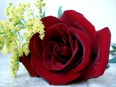 Imagenes Nuevas De Rosas}
