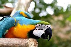paraba barba azul, se denomina esta especie de papagayo exclusiva de Bolivia