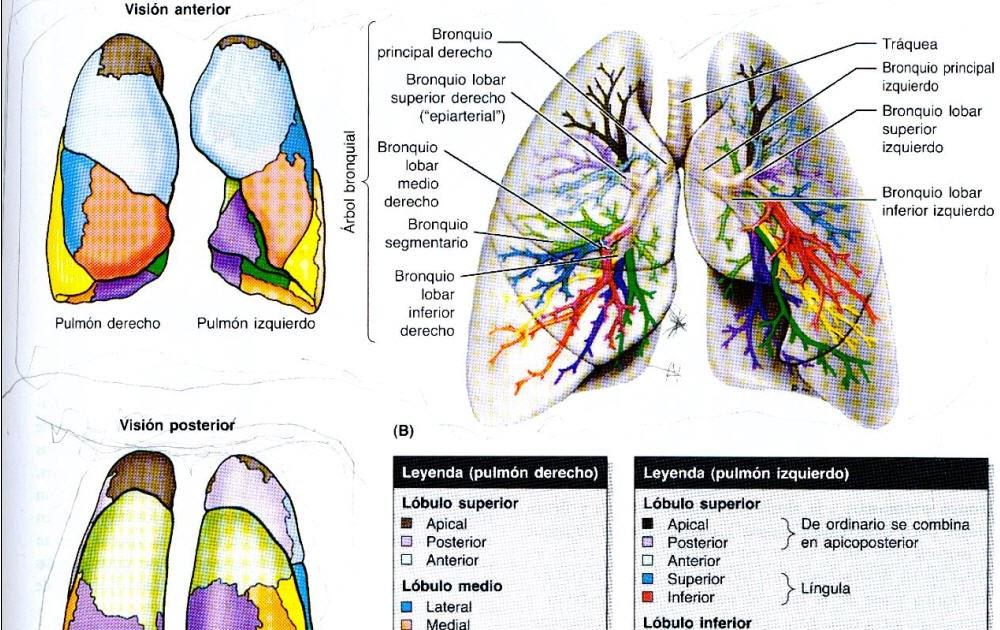 Anatomía Rayos: SEGMENTACION BRONCO-PULMONAR