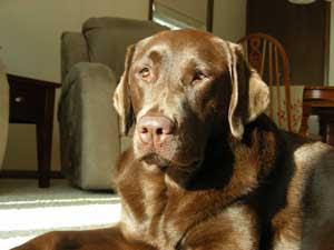Dakota: Chocolate Labrador Retriever