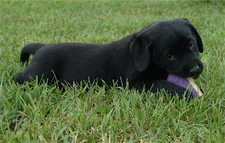 Criket Hollow Black Lab Pup
