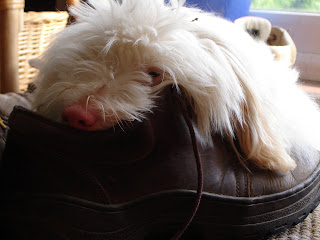 coton de tulear puppy in shoe