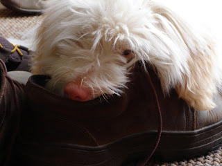 coton de tulear in shoe