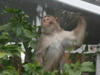 tampa monkey