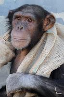 cold chimp