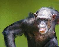 chimp surgery