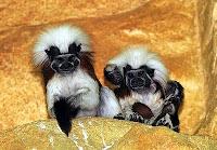 monkey twins nazi