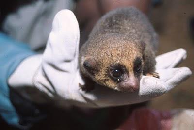 lemur rare