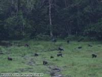 congo gorilla population