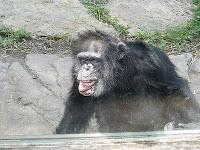 jimmie chimp