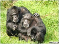 chimp hugs