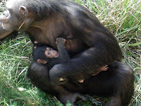 detroit zoo chimp born ajua