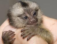 marmoset bbaby