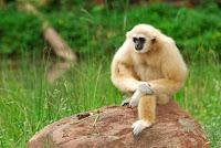 gibbon foot