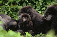 gorilla death