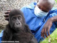 baby gorilla rescued