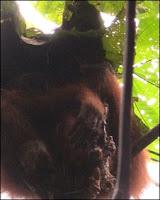 orangutan cannibalism