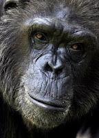 ape malaria
