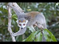 lemur hunted