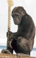 kiri gorilla