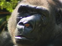 gorilla tumor