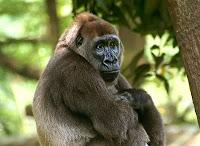elaine the gorilla