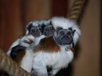 monkeys stolen