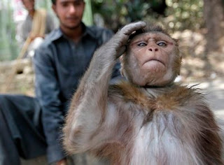 monkeys trained taliban