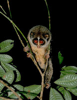 horton plains slender loris