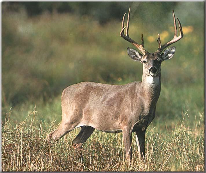 Pictures for everyone no trash more deer - Free deer hunting screensavers ...