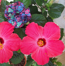 Hibiscus de Sansan