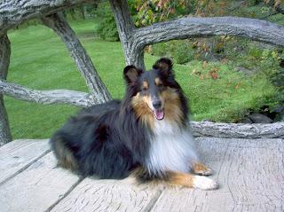 shetland sheepdog wikipedia