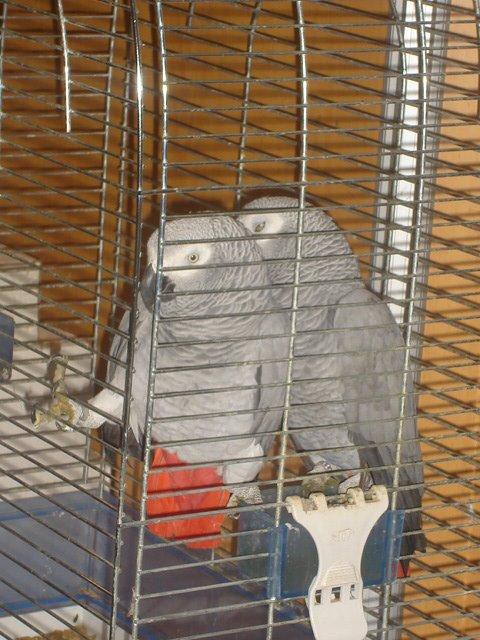 Papagaios cinzentos