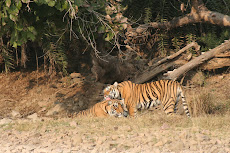 Tigress and cub, Ranthambhore, Jan '09