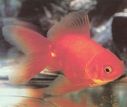 Aquamundo inc for Cria de peces ornamentales