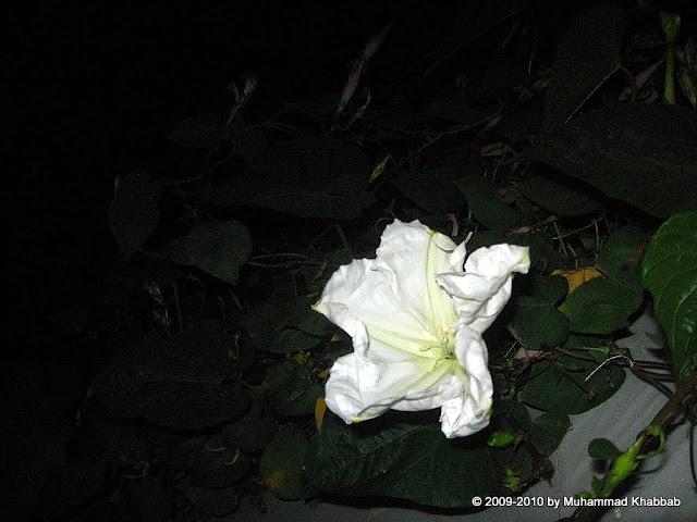 moon flower ipomoea alba