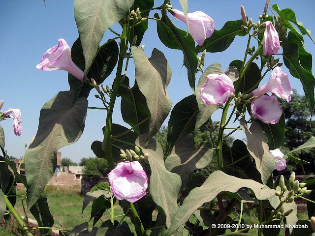 wild flower in lahore ipomoea